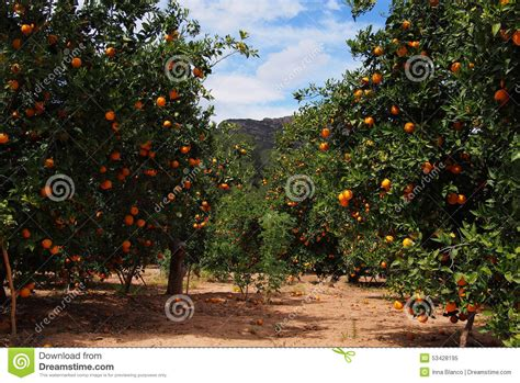fruit trees in spain orange trees garden with many fruits spain stock photo