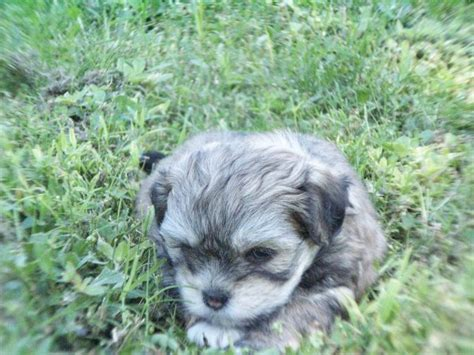 puppies for sale atlanta lhasatese puppies for sale in atlanta ga at puppies for sale local breeders