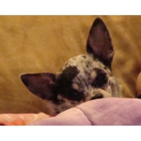 yorkie rescue vancouver chihuahua breeder in vancouver washington breeds picture