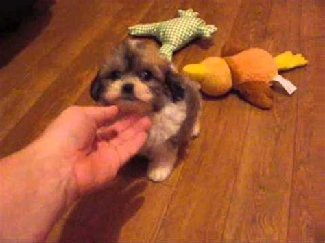 teddy puppies for sale in illinois shichon zuchon teddy puppies in michigan and illinois puppies for sale
