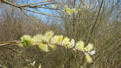treurwilg mannelijke bloem flora van nederland katwilg salix viminalis