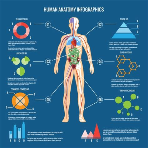infographics human body human body anatomy infographic graphics on creative market