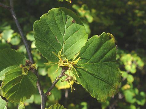 hamamelis virginiana american witch hazel go botany