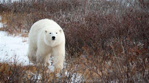 churchill quot quadfecta quot northern style churchill polar bears