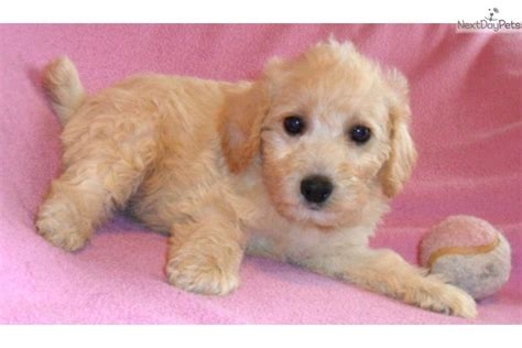 schnoodle puppies for sale in ohio schnoodle puppy for sale near akron canton ohio 5cec8873 5481