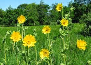 the phytophactor friday fabulous flower compass plant