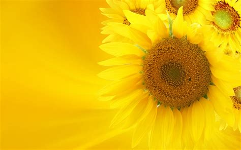 sunflower free ppt backgrounds for your powerpoint templates
