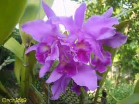 orchids flowers pictures bulbophyllum vanda cattleya cymbidium phalaenopsis dendrobium culture