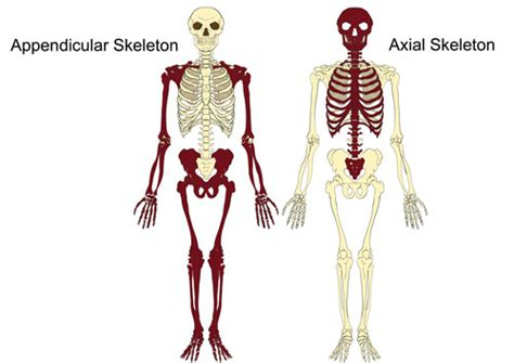the human skull is divided into what two sections the axial appendicular skeleton the skeleton bones
