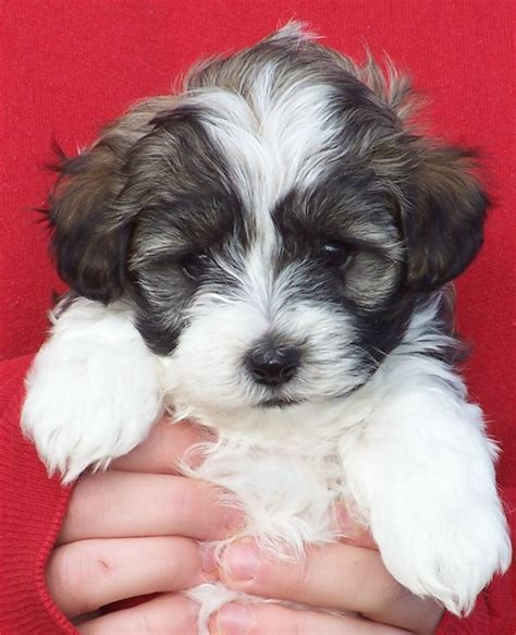 free havanese puppies best 25 havanese puppies ideas on cockapoo puppies dogs and