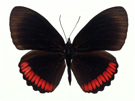 red and black butterflies butterfly free stock photo a red and black butterfly