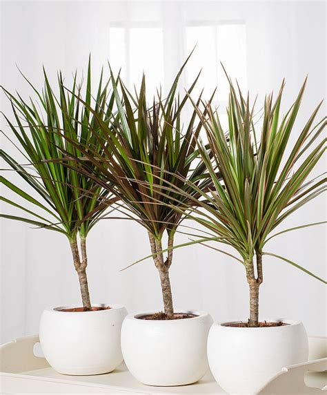buy house plants now dracaena marginata green bakker com buy house plants now dracaena marginata 1 trunk bakker com