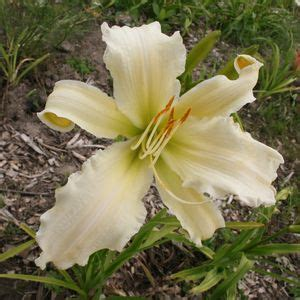 heavenly gardens daylilies