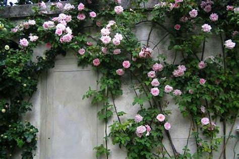 when to plant climbing roses the 7 best climbing roses for your garden gardenista