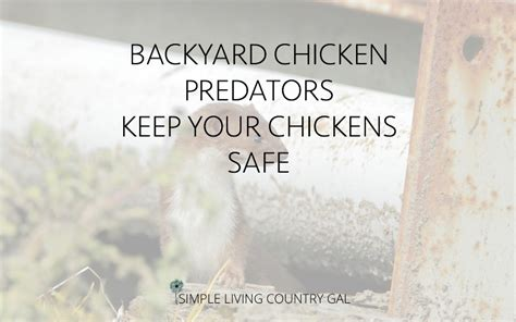 how to have chickens in your backyard chickens archives simple living country gal