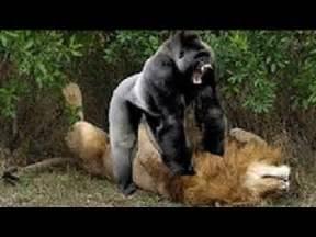 Jaguar Vs Gorilla Gorilla Vs Vs Anaconda Real Fight To Top