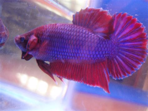 what color are fish betta fish colors the fish doctor