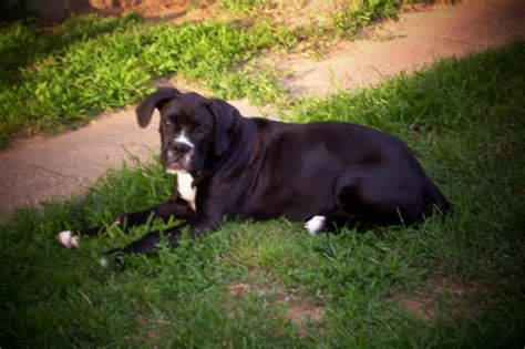 puppies for sale in parkersburg wv boxer puppies for sale in parkersburg wv