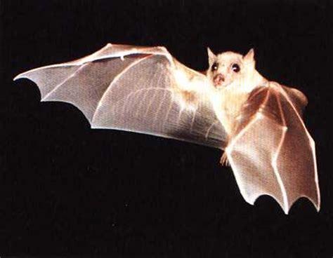 criceti volanti pipistrelli viri o morbidi criceti volanti