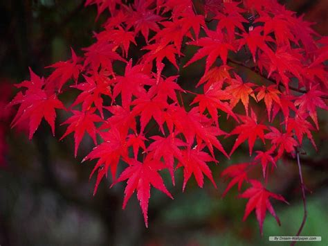 wallpaper  nature wallpaper autumn red leaves