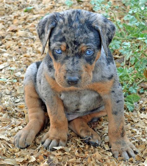 catahoula cur puppies best 25 breeds ideas on dogs puli breed and unique