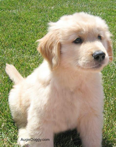 golden retriever babies golden retriever augie as a baby i dogs