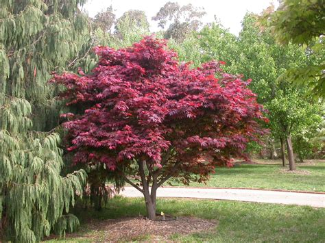 winter hill tree farm japanese bloodleaf maple acer palmatum atropurpureum