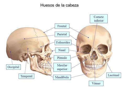 de la cabeza a huesos y articulaciones de la cabeza huesos del cr 225 neo el cuerpo humano