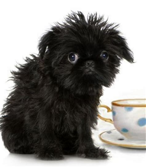 small teacup dogs small breeds dogs miniature breeds teacup breeds breeds picture