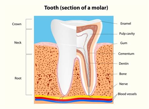 root canal diagram you don t to live with tooth we can help
