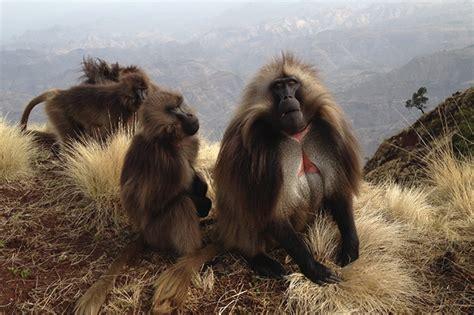ecolodge breaks ground  ethiopias simien mountains national park african wildlife foundation