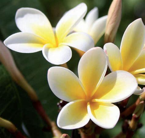 frangipani fiore giardinaggio frangipani o plumeria un fiore perfetto