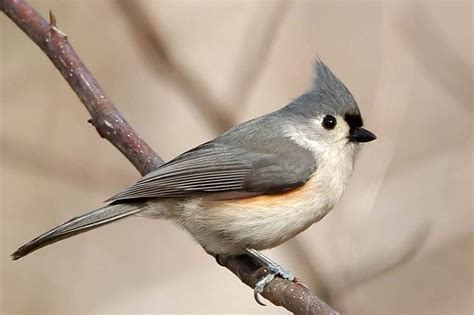 burnt bridges birding tufted titmouse