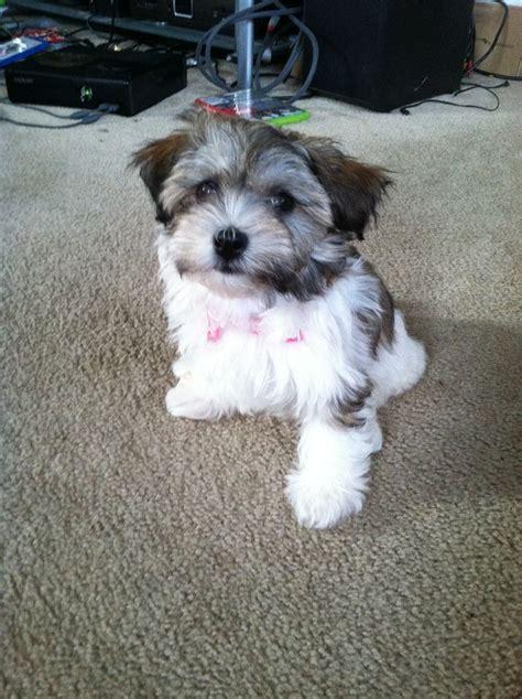 3 month puppy 3 month havanese puppy my havanese