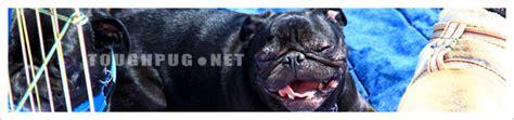pug sacramento pros pug rescue of sacramento toughpug net