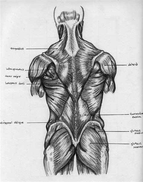 the deep muscles of the back human anatomy