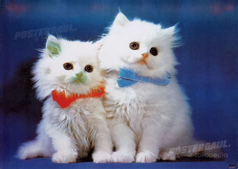 Poster Jumbo Size 50 X 70 Cm jual poster fauna kucing rj55 jumbo size 50 x 70 cm