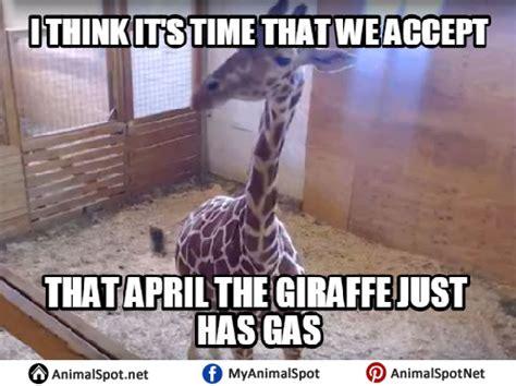 Giraffe Spider Meme - giraffe memes