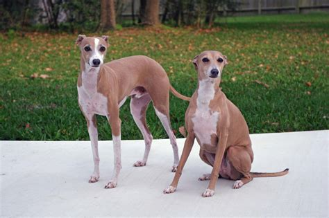 puppy in italian italian greyhound dogs photo and wallpaper beautiful italian greyhound dogs pictures