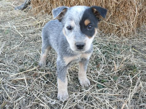 blue heeler mix puppies for sale queensland heeler california breeds picture