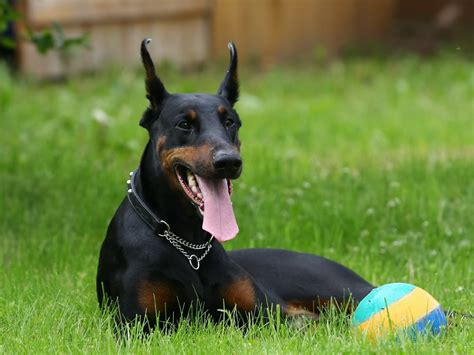 black doberman puppies black doberman and the wallpapers and images wallpapers pictures photos