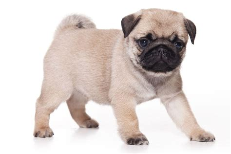 pug dogs pug wallpapers wallpaper cave