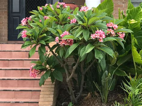 fiore plumeria plumeria rubra frangipani world of flowering plants