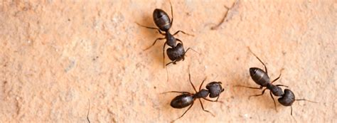how to get rid of carpenter ants in bathroom how to get rid of carpenter ants ehrlich pest control