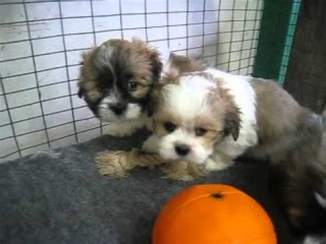 shih tzu puppies for sale in lincoln ne lhasa apso puppies for sale in omaha nebraska ne lincoln bellevue grand island