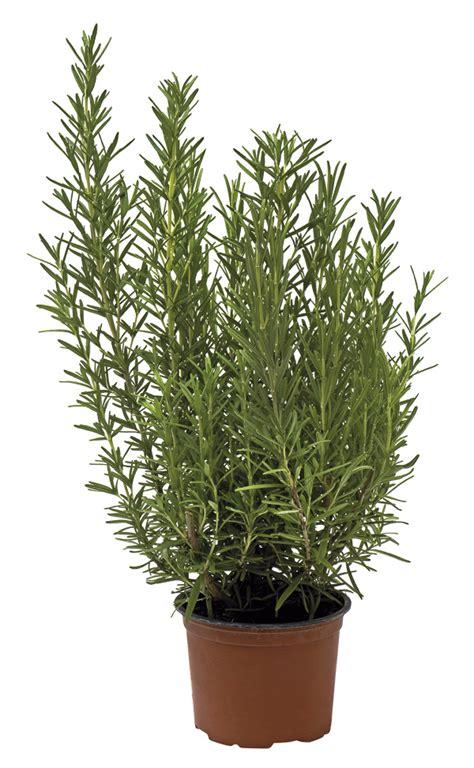 rosmarino vaso 10 piante da appartamento facili da curare