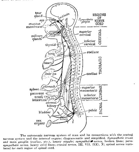 anatomy coloring pages nervous system free coloring pages of nervous system