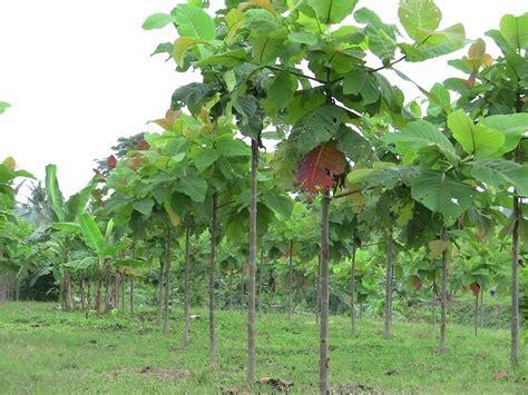 Jual Bibit Sengon Di Semarang jual bibit pohon jabon di semarang jual bibit pohon tanaman