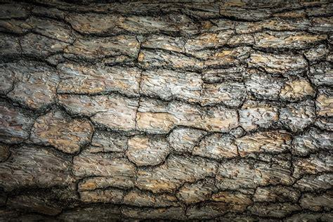 japanischer ahorn rot 807 gelb kiefer pinus ponderosa als waldspezialist