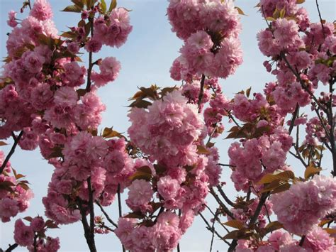 prunus da fiore ciliegio da fiore prunus serrulata quot amanogawa quot